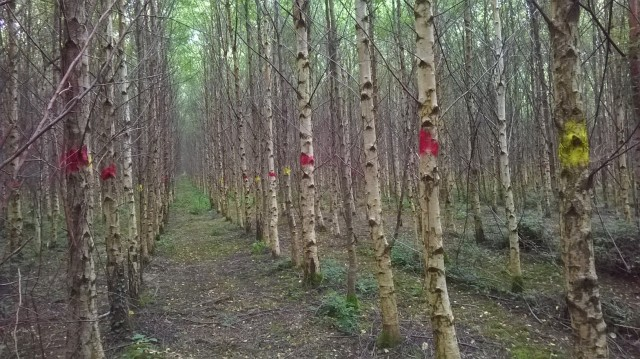 Selecting potential final crops trees before thinning in 14 year old birch provenance/progeny trial. May 2014